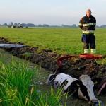 GB 20140707 003 Koe te water Lagedijk
