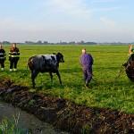 GB 20140707 007 Koe te water Lagedijk